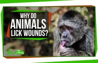 Why Do Animals Lick Their Wounds?