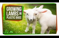 Growing Lambs in High-Tech Plastic Bags