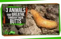 3 Animals That Breathe Through Their Butts