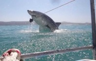 A Great White Shark Breached & Just Missed Us!