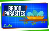 Brood Parasites