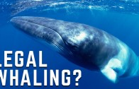 Can Japan Kill Whales In The Name Of Science?