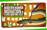 Modern Human Migration and Echolocating Eels