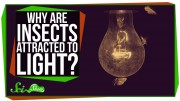 Why are Insects Attracted to Light?