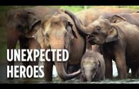 Using Dozens Of Elephants To Save Rhinos